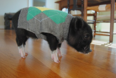 Teacup Pig in Sweater HE'S IN A SWEATER!!! | WefollowPics