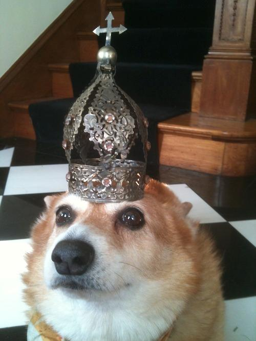 Corgi Has Innate Talent For Balancing Things On Her Head
