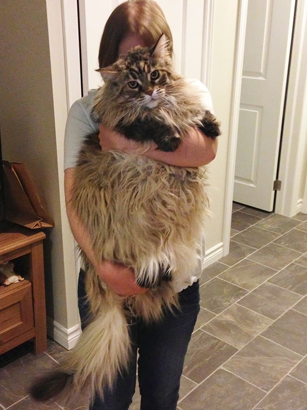very large maine coon