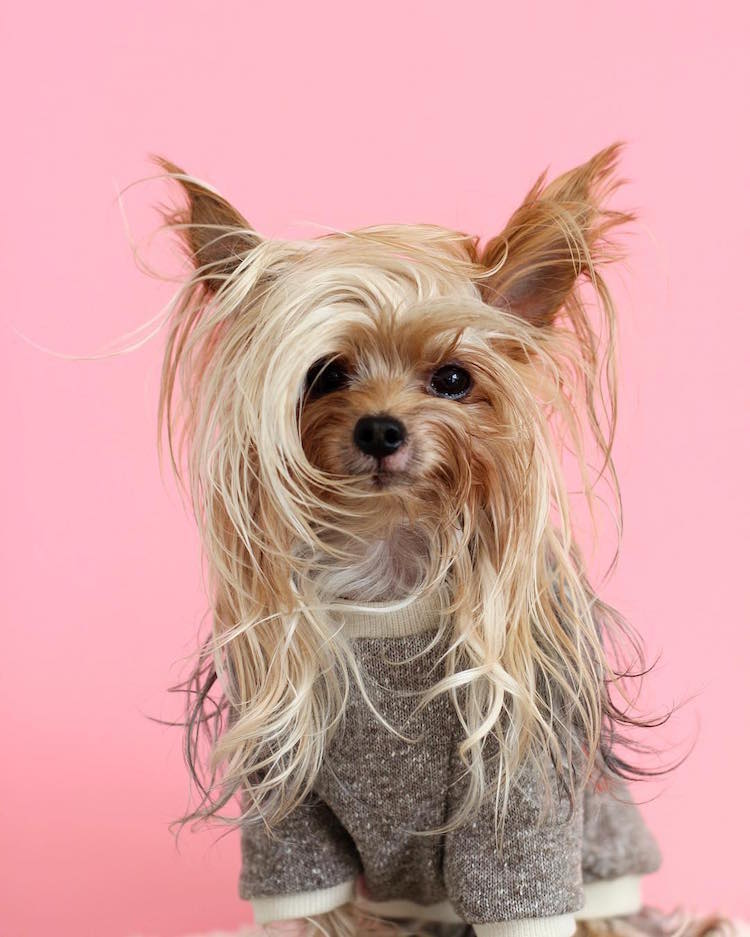 This Stylish Yorkie Loves to Show Off Different Hairstyles