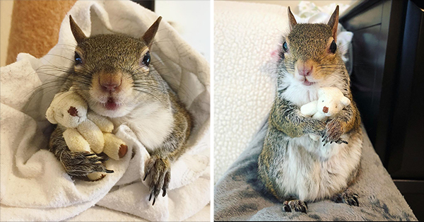 Squirrel Rescued From A Hurricane Won't Sleep Without Her Tiny Teddy Bear