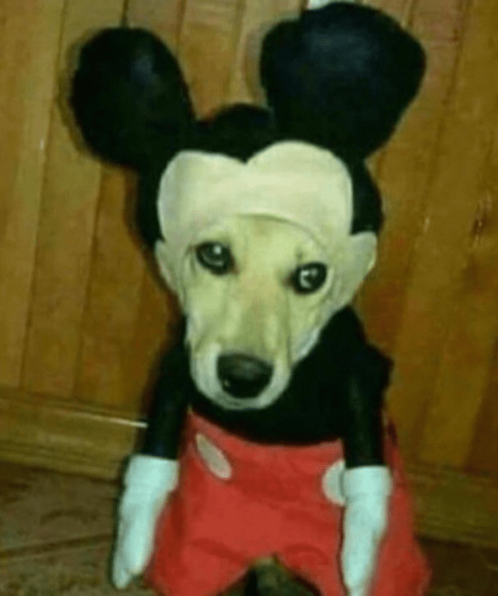 mickey mouse dog costume, cursed mickey mouse dog costume, funny mickey mouse dog costume, funny dog in costume picture, cursed costume image, cursed costume, cursed costume picture