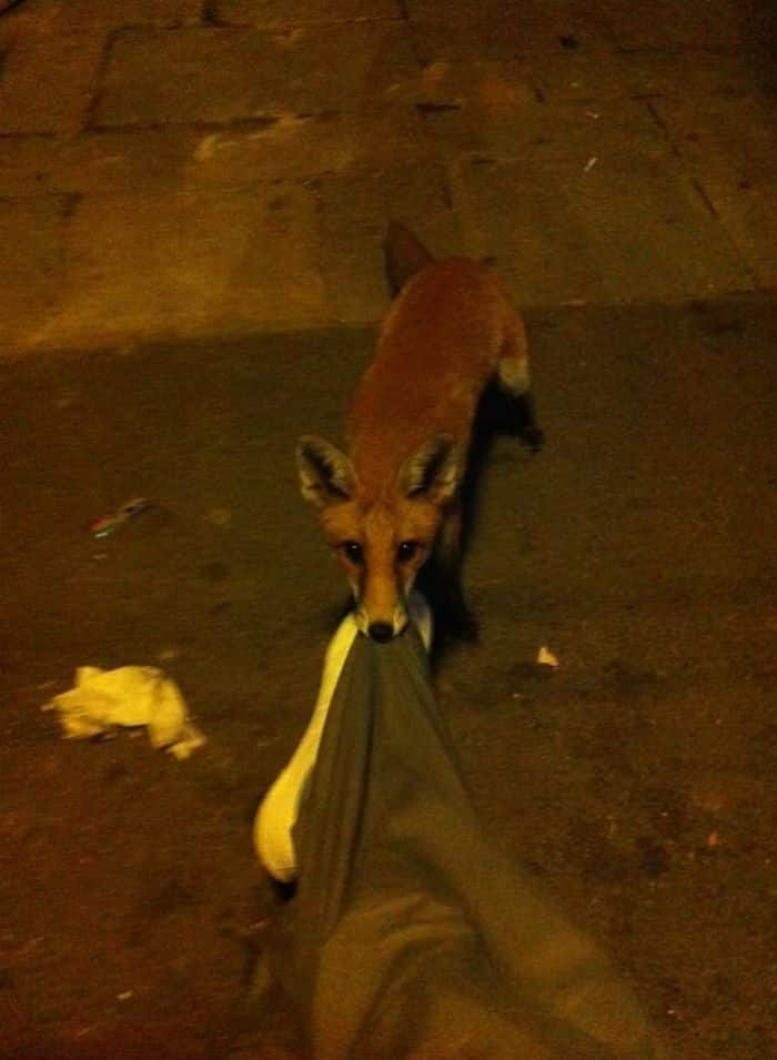 cute fox pictures, fox pictures cute, pictures of a cute fox, a cute picture of a fox, cute animal pictures fox, cute animals pictures of fox, cute picture of a fox, cute picture of foxes, fox cute picture, fox cute pictures, pictures of foxes cute, cute fox, cute foxes, fox picture, fox pictures, best cute foxes, best cute fox, cute fox pics, cute fox image, cute fox pic, cute fox image, fox pic, fox pics, fox image, fox pulling on pants