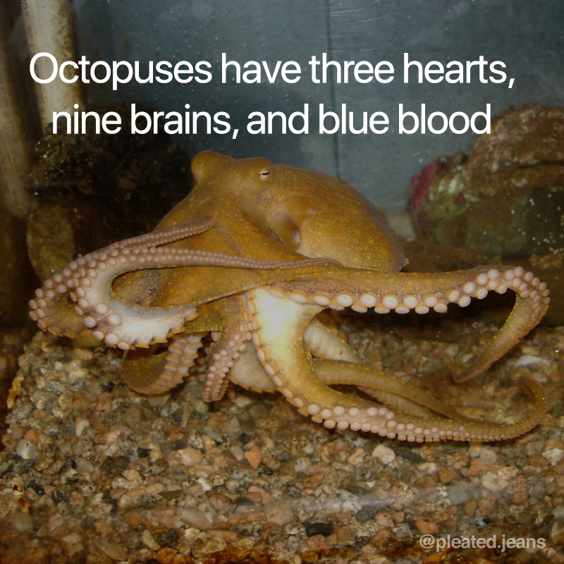 octopuses have 3 hearts 9 brains and blue blood, octopus science fact, octopuses have three hearts nine brains and blue blood, cool science fact, random science fact, fun science fact, science fact, awesome science fact, random science facts, science facts, fun science facts, interesting science facts, fun facts about science, fun science facts, weird science facts, interesting facts about science, cool science facts, crazy science facts, neat science facts, amazing facts about science, strange science facts, odd science facts, true facts about science, random fun facts about science, unique science facts, unusual science facts, weird fun facts about science, obscure science facts, weird but true facts about science, amazing facts science pictures, amazing facts about science images, fabulous facts about science, some interesting facts about science, weird interesting facts about science, interesting amazing facts about science