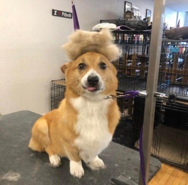 corgi with wig