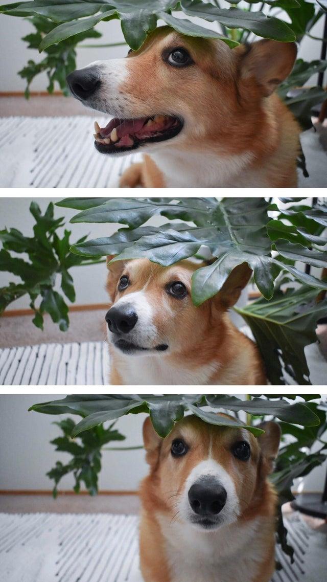 corgi with plant picture, corgi picture with plant, cute corgi picture with plant
