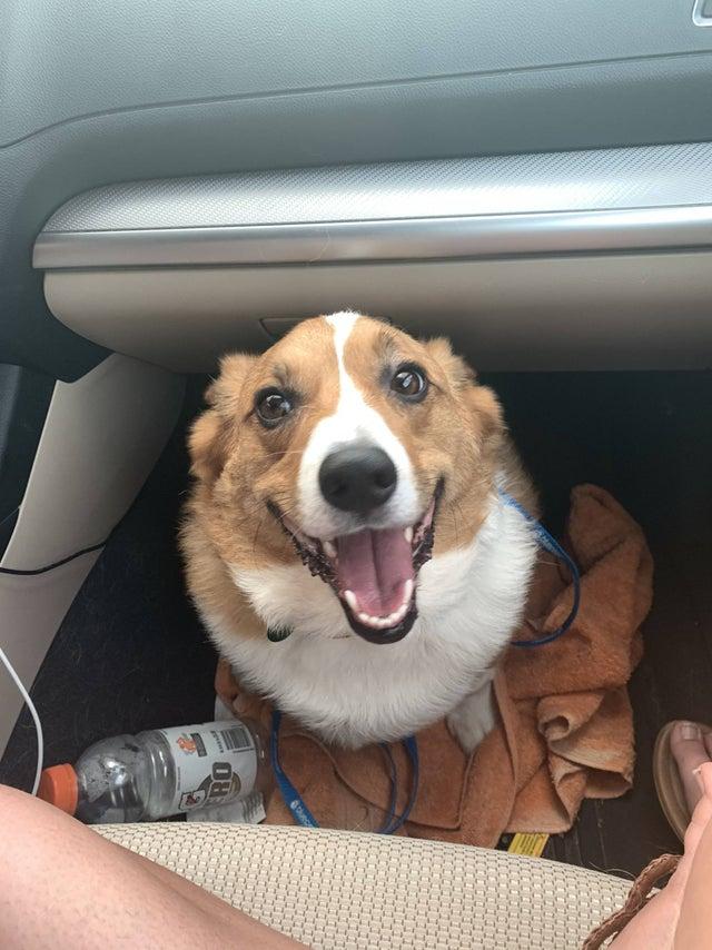 corgi in car, cute corgi in car