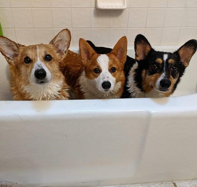 corgis in bath, corgis bathing picture