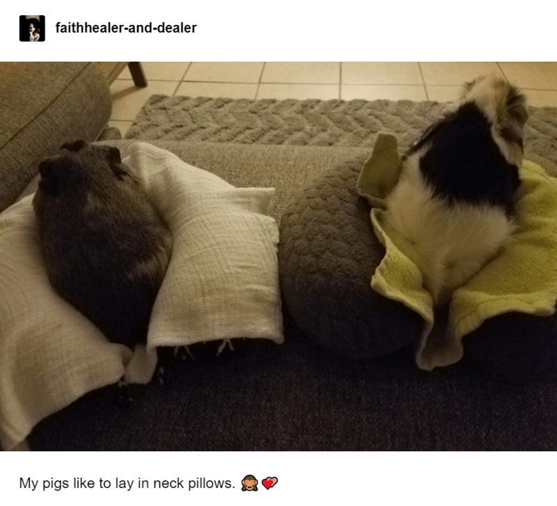 guinea pigs on pillows, cute guinea pigs on pillows, adorable guinea pigs picture
