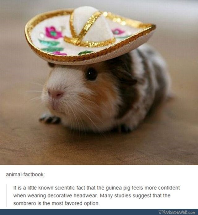 guinea pig in hat, guinea pig wearing hat, guinea pig wearing sombrero, funny guinea pig hat, guinea pig meme, guinea pig memes, cute guinea pig meme, funny guinea pig meme, guinea pigs meme, guinea pigs memes, cute guinea pigs memes, cute guinea pigs meme, funny guinea pig memes, cute guinea pig memes, cute guinea pig picture, cute guinea pig pictures, funny guinea pig picture, funny guinea pig pictures, cute guinea pig, very cute guinea pig, cute guinea pig pic, cute guinea pig pics, cute guinea pigs pictures, funny guinea pigs pictures, clean memes guinea pigs, cute guinea pig meme, cute guinea pigs memes, dank guinea pig memes, dank memes guinea pig, funniest guinea pig memes, funny guinea pig meme, funny guinea pig memes clean, funny guinea pigs memes, guinea pig funny memes, guinea pig funny pictures memes, guinea pig meme funny, guinea pig memes clean, guinea pig memes funny, guinea pig picture meme, guinea pigs memes, guinea pigs very cute clean memes, images of guinea pig memes, meme guinea pig, meme guinea pigs