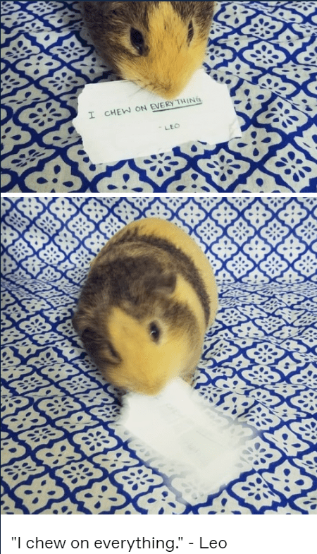 guinea pig chewing paper, cute guinea pig chewing