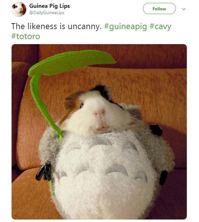 Guinea Pig Memes Almost As Cute And Funny As Guinea Pigs