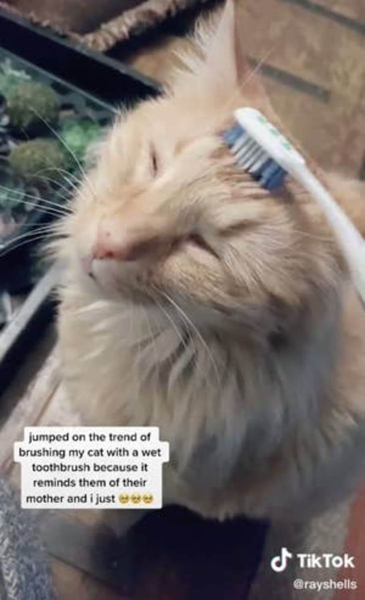 people brushing cats with toothbrushes, cats being brushed with toothbrushes, cats brushed with toothbrushes tiktok, cats brushed with toothbrushes, cats being brushed with toothbrushes tiktok, people brushing cats with toothbrushes tiktok