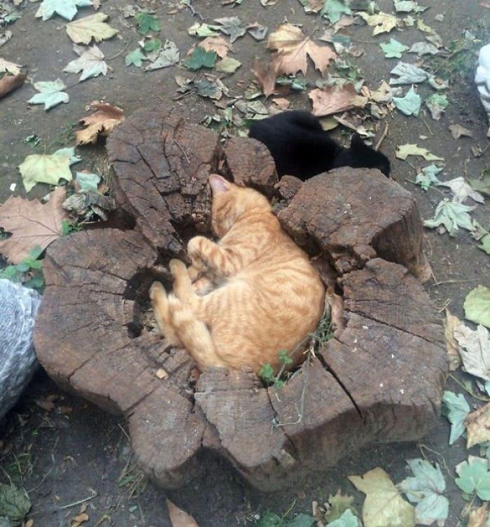 cat in tree stump if i fits i sits, cat sleeping in tree stump if i fit i sit