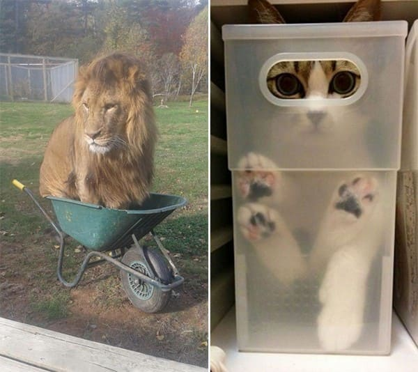 lion in wheel barrow if i fit i sit, cat in container if i fit i sit