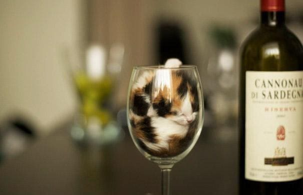 kitten in wine glass if i fits i sits, calico kitten in wine glass if i fit i sit