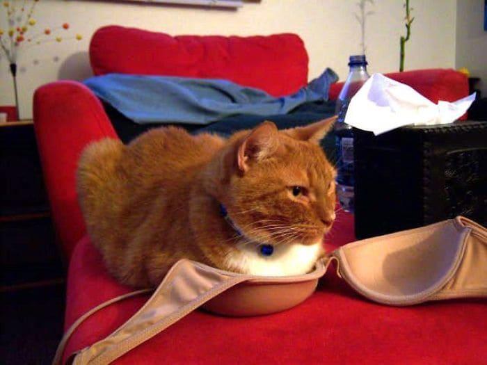 cat on bra if i fit i sit, cat on bra if i fits i sits