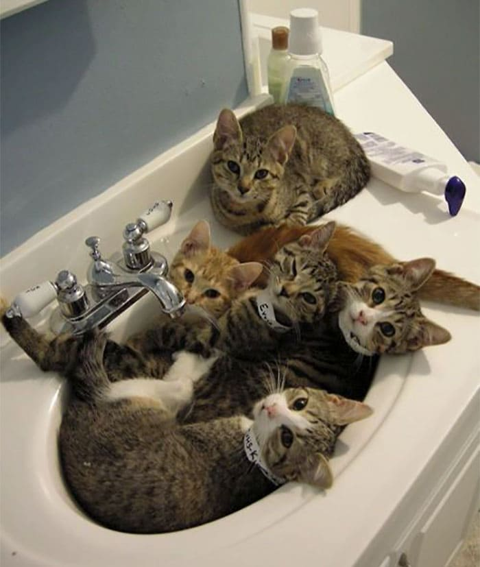 kittens in sink if we fits we sits, kittens in sink if i fits i sits