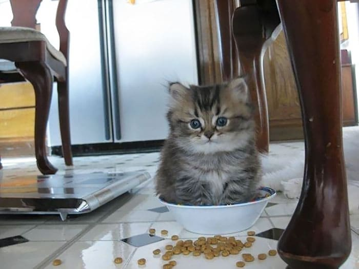 kitten in cereal bowl if i fit i sit, kitten in cereal bowl if i fits i sits