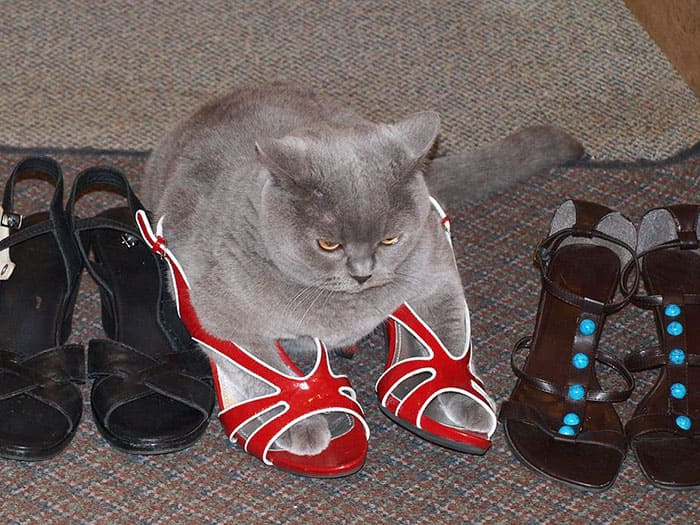 cat in high heel shoes if i fits i sits