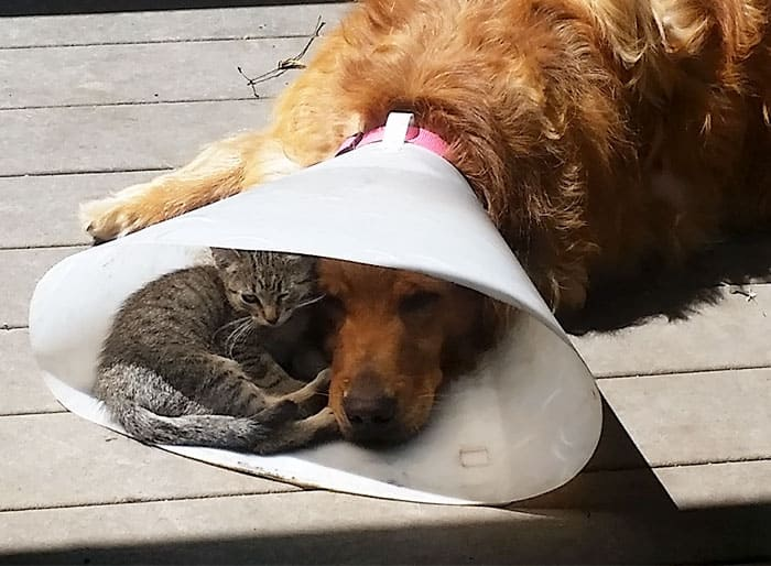 kitten cuddling with dog in cone if i fits i sits