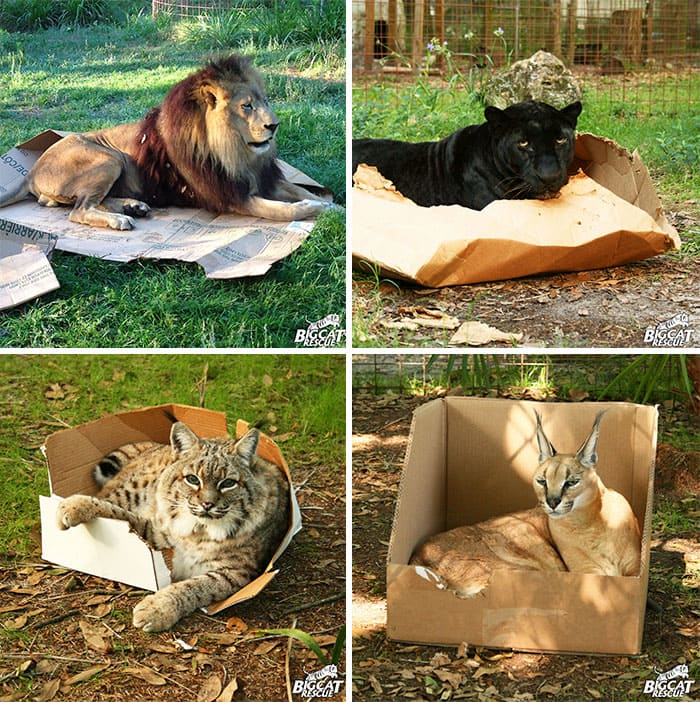 wild cats if i fits i sits, wild cats fitting and sitting