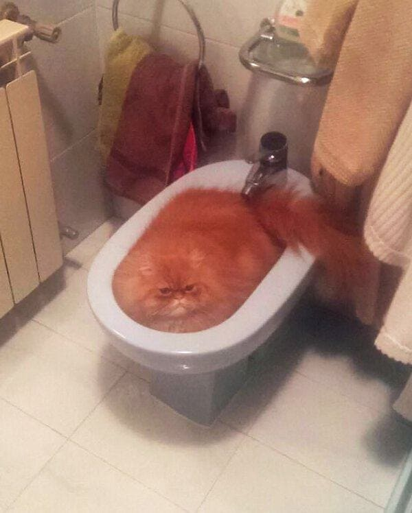 cat in toilet if i fits i sits, cat fitting and sitting in toilet bowl