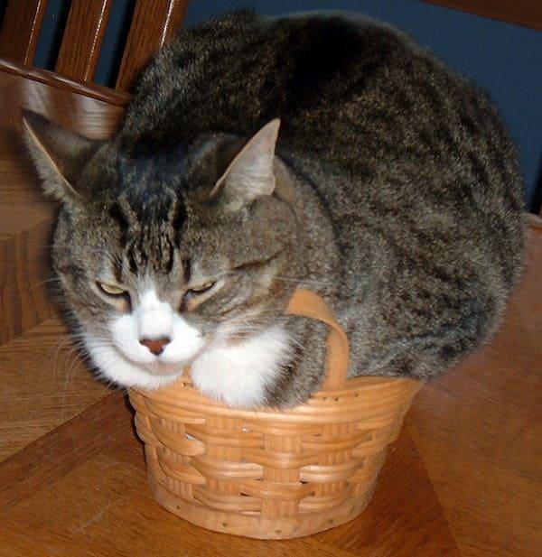 cat in basket if i fit i sit, cat in basket if i fits i sits