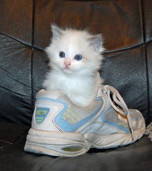 kitten in shoe, kittens in shoes, kittens in shoe, cute kittens in shoes, cute kitten in shoe